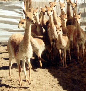 Vicuñas Fibre of the Gods